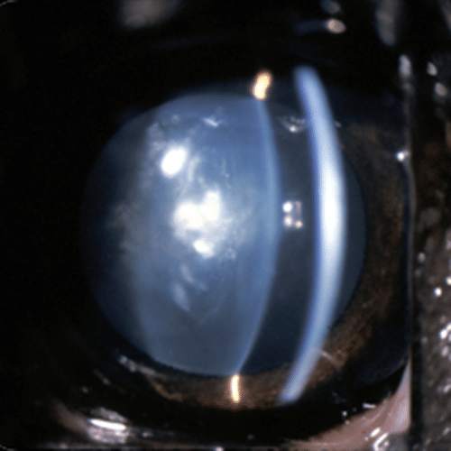 Eye, dog, slit lamp, uveitis, cataract