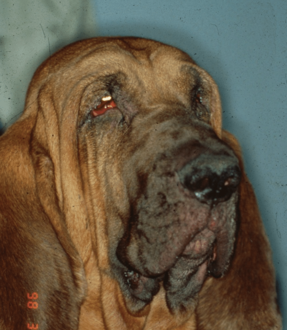 sinking eye, redness, pain, diseases, abscess, tumor, horse, dog, cat, rabbit