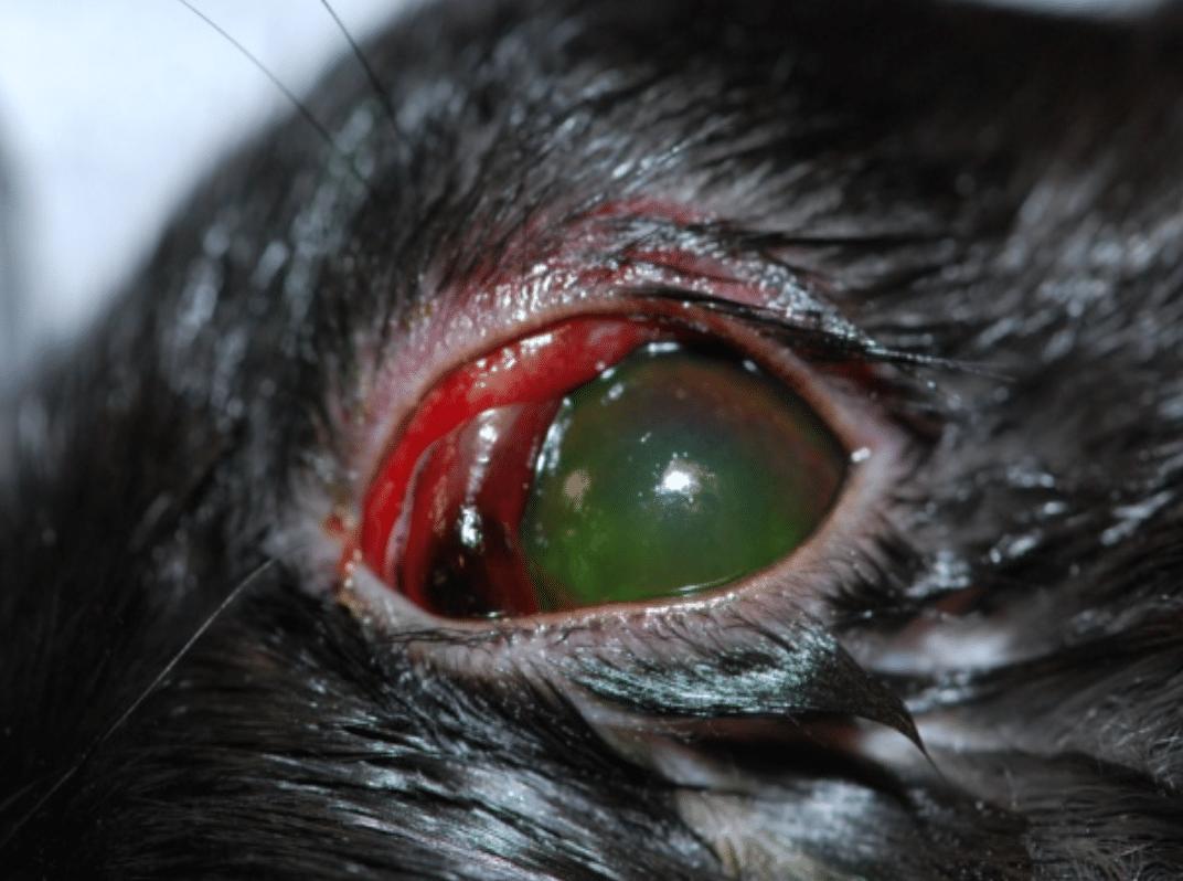 uvéite, ulcère, rougeur, conjonctivite, douleur, maladies oeil, écoulement, cheval, chien, chat, lapin