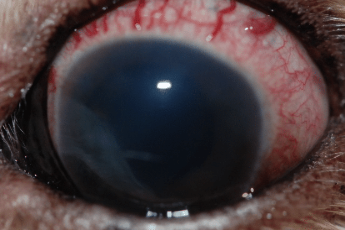 Sclera, redness, big vessels, pain, diseases eye, horse, dog, cat, rabbit, uveitis, glaucoma