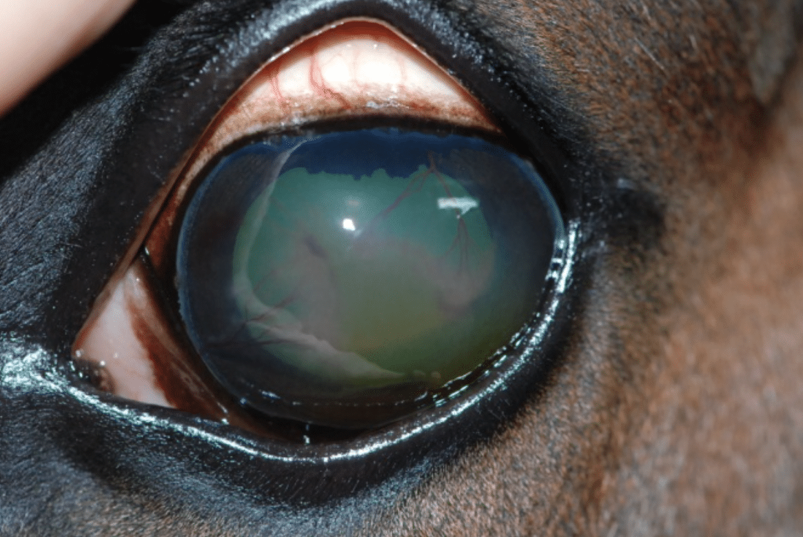 Keratitis, vessels, cornea, blue eye, cloudy eye, dog, cat, horse