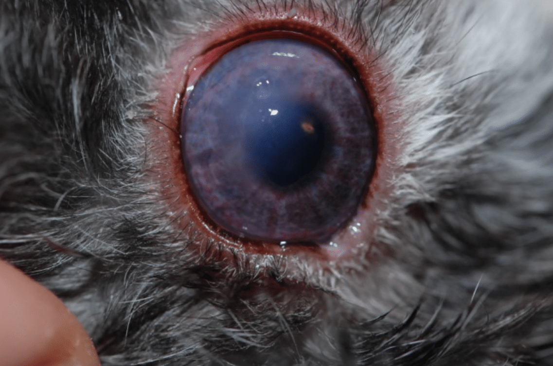 Glaucoma, pigment, vessels, cornea, blue eye, cloudy eye, dog, cat, horse, rabbit
