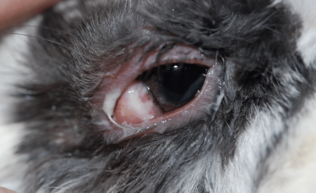 Pus, discharge eye, pain, eye closed, diseases, horse, dog, cat, rabbit