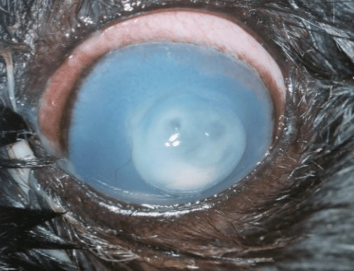 Melting Eye Ulcer In Dogs