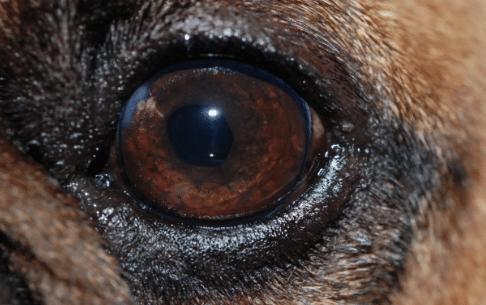 chien, cataracte mature, chirurgie, cristallin artificiel, 3 semaines