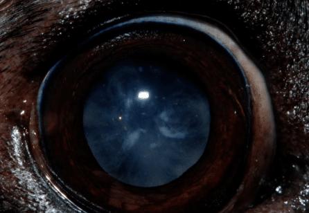 cataracte intermédiaire, chien, chat, cheval, lapin