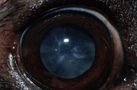 chien, cataracte immature, chirurgie, opacité, cristallin