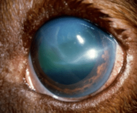 Glaucoma, sign, dog, cat, blue, dilated pupil, big eye, cloudy eye, pain