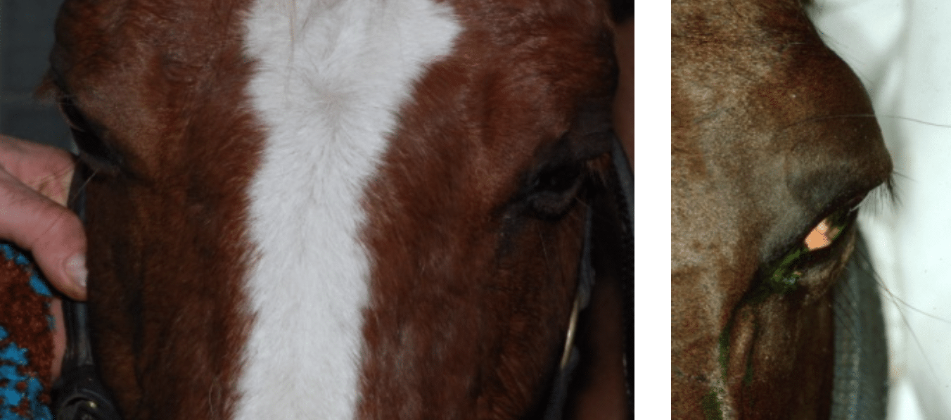 Eye signs, eye, pain, eye closed, diseases, horse, dog, cat
