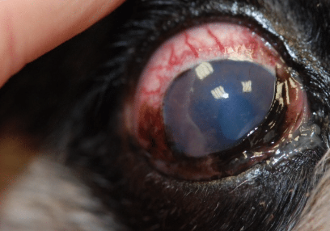 Sclera, redness, big vessels, pain, diseases eye, horse, dog, cat, rabbit