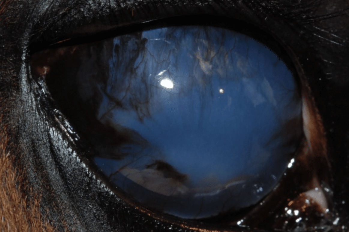 Glaucoma, pigment, vessels, cornea, blue eye, cloudy eye, dog, cat, horse