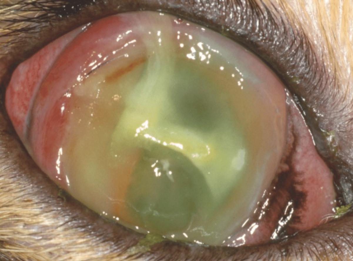 ulcere cornee, grafigne, trou oeil, infection, pu, chien, chat, cheval