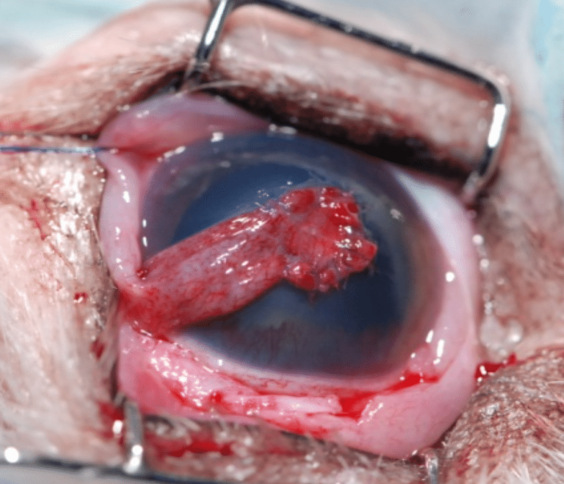 ulcere cornee, perforation, trou oeil, chien, chat, cheval, chirurgie, greffe, greffon, conjonctive
