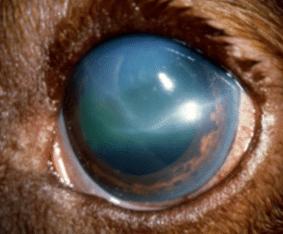 glaucome, signe, chien, chat, bleu, pupille dilatée, gros oeil