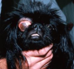 glaucome, signe, chien, chat, bleu, pupille dilatée, gros oeil, rougeur