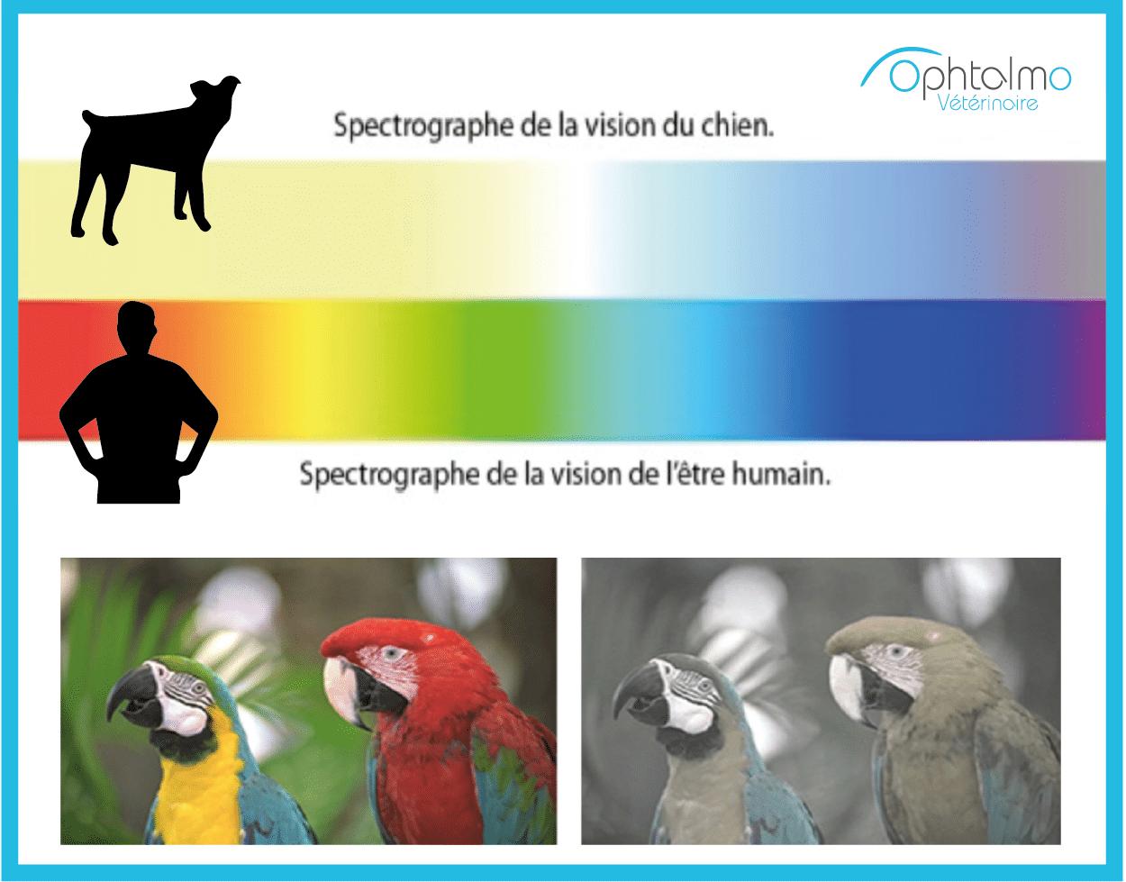 vision chien, homme, couleur, spectrographe